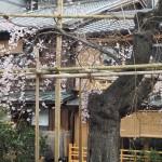 祇園白川 3月24日撮影