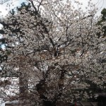 八坂神社 山桜 3月24日撮影