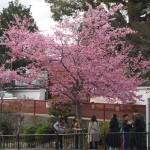 知恩院黒門前 3月24日撮影