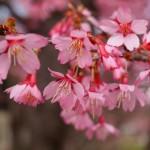 鴨川 いぼ桜 3月24日
