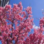 陽光桜 御池通