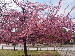 とある公園の桜