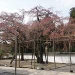 醍醐寺 3月25日