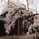 妙覚寺 3月25日