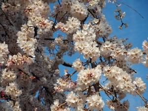 しだれ桜 3月26日