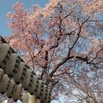 平野神社 3月