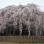 京都御苑 出水の小川 3月