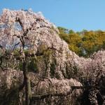京都御苑 出水の小川 向かいの桜