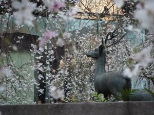 六角堂 御幸桜
