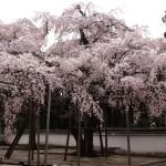 醍醐寺 3月26日