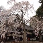 県神社 3月26日