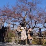 二条城 ソメイヨシノの標本木