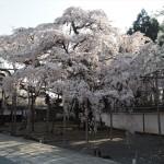醍醐寺 三宝院 太閤しだれ桜