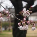 二条城 ソメイヨシノ開花 3月27日