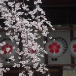 平野神社 3月27日