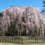 京都御苑 出水の小川向かいの桜