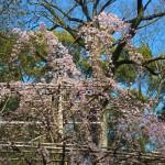 下鴨神社 3月27日