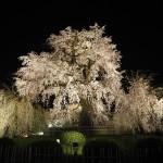 円山公園 3月28日