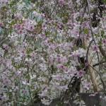 六角堂 御幸桜 3月