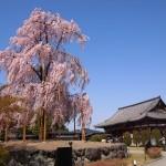 東寺 不二桜 3月