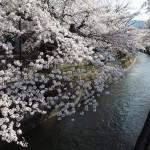 山科疎水 3月