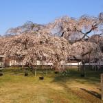 霊宝館 醍醐深幸桜