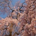 霊宝館 しだれ桜