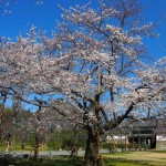 二条城 桜の標本木 3月31日