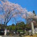 秘密の場所の桜
