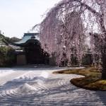 高台寺 しだれ桜