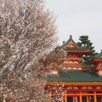 平安神宮 左近の桜