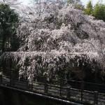 今熊野 4月1日