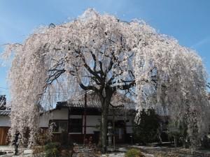 本満寺 4月1日