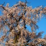 円山公園 祇園しだれ桜