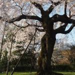 円山公園 4月1日