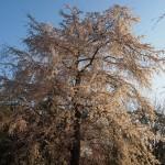 円山公園 穴場の桜