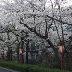 高瀬川 4月1日