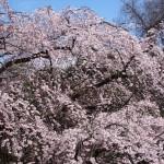 京都御苑 近衛邸跡 4月