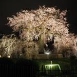 円山公園 ライトアップ 4月