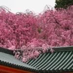 平安神宮 4月2日