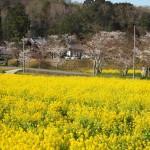 大御堂観音寺 菜の花