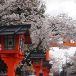 平野神社 満開の桜