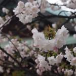 白峯神宮 撫子桜 4月2日