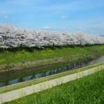 天神川堤 4月3日
