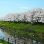 天神川下流の桜並木 2014年