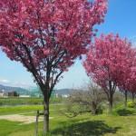美しく咲く桜 2014年