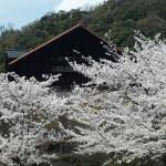 大山崎山荘美術館庭園 4月3日