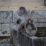 東山で猿の親子に注意