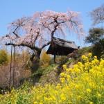 地蔵禅院 4月