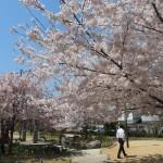 桜井公園 4月4日